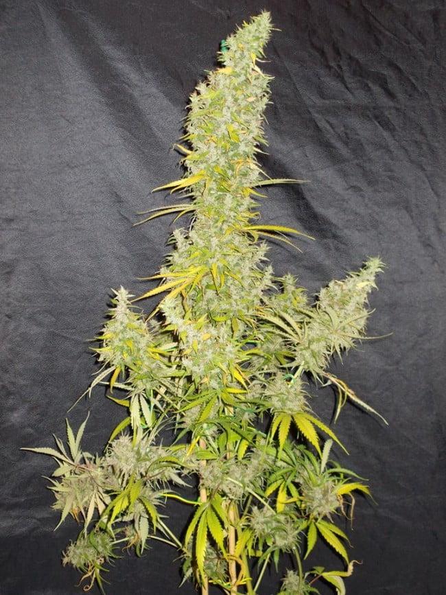 ACE Seeds - Zamaldelica Regular Cannabis Seeds