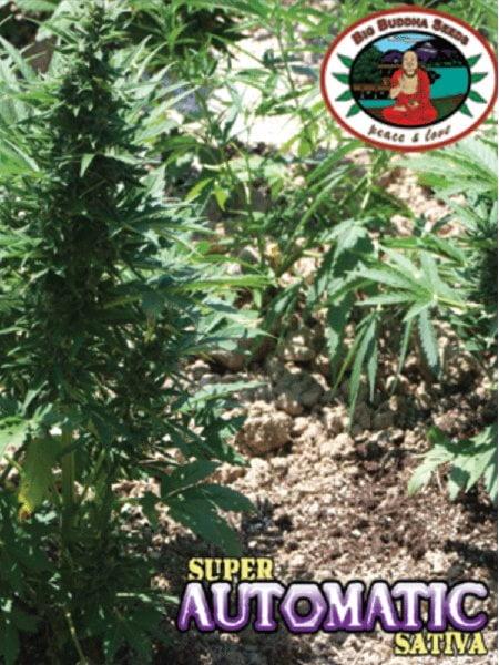 Big Buddha Seeds - Buddha Haze Automatic (aka Super Automatic Sativa)  Feminised Cannabis Seeds