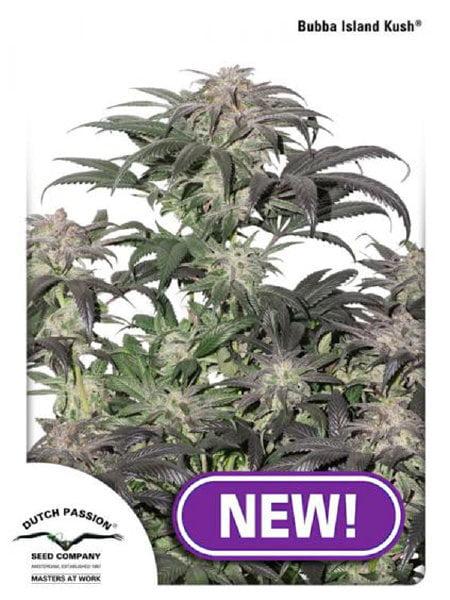 Dutch Passion - Bubba Island Kush Feminised Cannabis Seeds